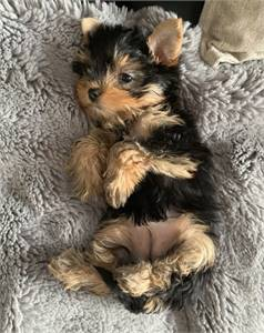 Adorable Yorkshire Terrier Puppies for sale