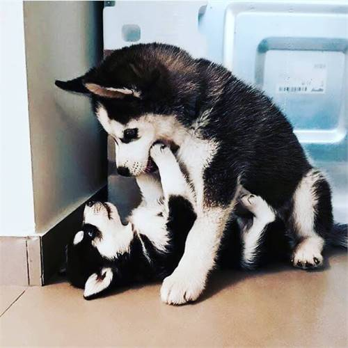 Male and female husky puppies ready for adoption