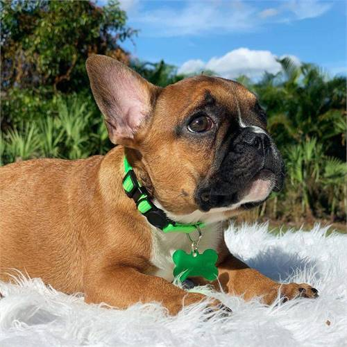 Frenchie puppy for sale